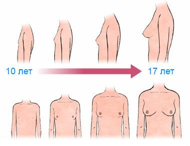 Этапы развития молочных желез