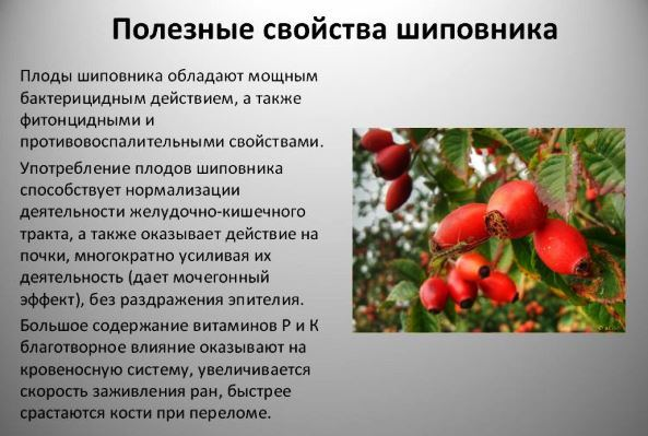 Шиповник при грудном вскармливании: можно ли при ГВ, что лучше - чай, настой, компот, сироп, плоды